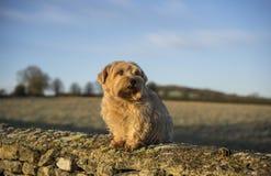 Norfolk Terrier Stock Photography