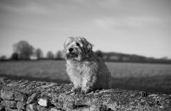 Norfolk Terrier. Sitting on a wall in the UK countryside stock photography