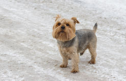 Norfolk terrier standing on a snow-covered street. Cute Norfolk terrier standing on a snow-covered street stock image