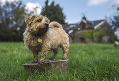 Norfolk Terrier. Stands on trunk surveying the surrounding fields. Alert royalty free stock image