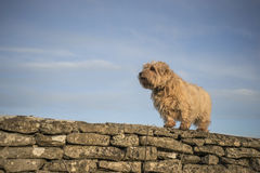 Norfolk Terrier on a stone wall Royalty Free Stock Image