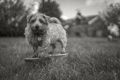 Norfolk Terrier. Surveying the surrounding fields. Alert and sniffing the air royalty free stock photo