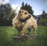 Norfolk Terrier Stock Photo