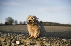 Norfolk Terrier. On wall. Misty background. UK stock images