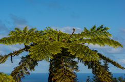Norfolk Treefern Fotos de Stock Royalty Free