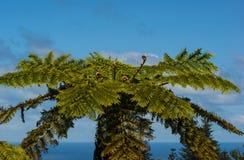 Norfolk Treefern. (Cyathea brownii) on Norfolk Island Royalty Free Stock Photos