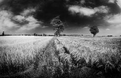 Norfolk Wheat Field Royalty Free Stock Images