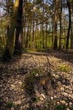 Norfolk Woodland Thetford. A woody landscape of Norfolk Stock Images