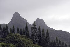 Norfork Pines in the Mist. From Oahu's Eastside Stock Photos