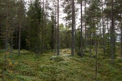 Norge nästan Oslo, grön pinjeskog royaltyfria foton