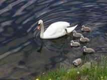 Norge - svanfamilj Arkivbild