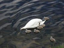 Norge - svanfamilj på att söka efter föda Royaltyfri Foto