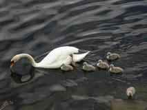 Norge - svanfamilj på att söka efter föda Arkivfoto