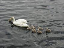 Norge - svanfamilj på att söka efter föda Arkivbilder