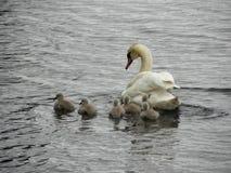 Norge - svanfamilj på att söka efter föda Royaltyfri Fotografi