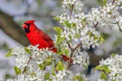 Norhern-Kardinal Lizenzfreie Stockfotos