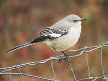 Northern Mockingbird closeup on a wire fence. Grey, black and white Mockingbird known for its mimicking behavior Royalty Free Stock Photo