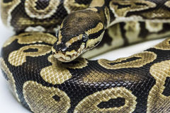 Normal Ball Python Royalty Free Stock Photography