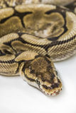 Normal Ball Python. Royal Ball Python, Spider mutation, pet Royalty Free Stock Photos