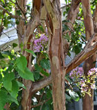 Normal bark peeling of Crape Myrtle. The normal bark peeling of a Crape Myrtle tree stock photo