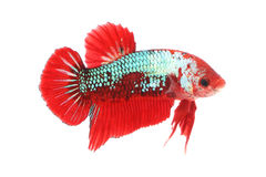 Normal betta fighting fancy fish Stock Photography