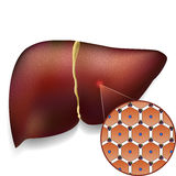 Normal Liver Cells Structure. Medical vector illustration of normal liver cell structure Royalty Free Stock Image