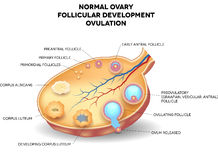 Normal ovary, follicular development and ovulation. Ovum is released from the ovarian follicles Royalty Free Stock Photos