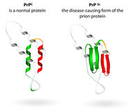 Normal protein and prion diseases. Vector scheme. Prion an composed of protein in a misfolded form . Prions are responsible for the transmissible mad cow disease Royalty Free Stock Images