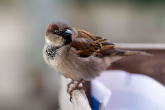 Normal sparrow sits on the fence edge. Stock Images