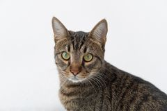 Normal tabby cat looking at the camera. On a white background isolate Royalty Free Stock Photography