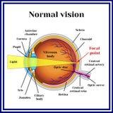 Normal vision. Eyeball structure. Medicine. stock illustration