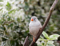 A normal zebra finch hen Stock Photo