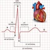 Normaler Kurvenrhythmus des menschlichen Herzens und Herzanatomie Lizenzfreie Stockfotografie