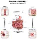 Normaler Magen-Darm-Kanal lizenzfreie abbildung