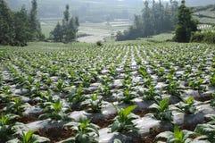 Normalizzazione di tabacco trattato ad aria calda piantato Fotografie Stock Libere da Diritti