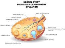 Normalny jajnik, follicular rozwój i jajeczkowanie, royalty ilustracja