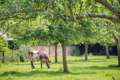 Norman cow grazing on grassy green field with apple trees on a bright sunny day in Normandy, France. Summer countryside landscape Stock Images