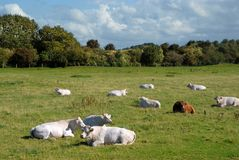 Norman cows Stock Photography