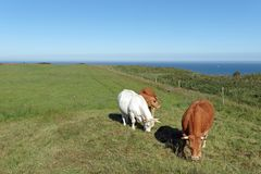 Norman cows on the cliffs of Etretat stock image