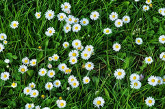 Normandie, close up of daisy in a field Stock Photography
