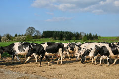 Normandie, cows on a path in Thury Harcourt Royalty Free Stock Photo