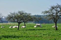 Normandie, koeien in weide in Soligny-La Trappe Royalty-vrije Stock Fotografie
