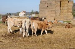 Normandie, vaca na vila pitoresca de Bouafles Foto de Stock
