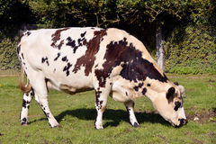 Normandy cow grazing Royalty Free Stock Photos