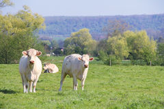 Normandy cows on pasture Royalty Free Stock Photography