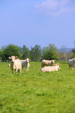 Normandy cows on pasture Royalty Free Stock Photo