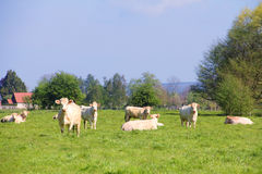 Normandy cows on pasture Royalty Free Stock Images