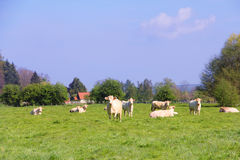 Normandy cows on pasture Royalty Free Stock Image