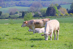 Normandy cows on pasture Stock Images