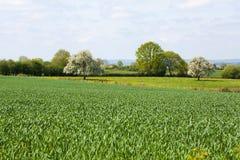 Normandy/França: Um campo verde com as plantas novas do trigo e as árvores de fruto de florescência no campo francês fotografia de stock royalty free
